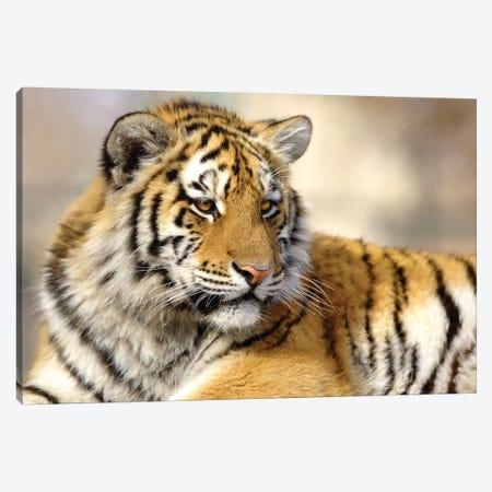Baby Tiger  Canvas Print #GAN1} by Goran Anastasovski Canvas Print
