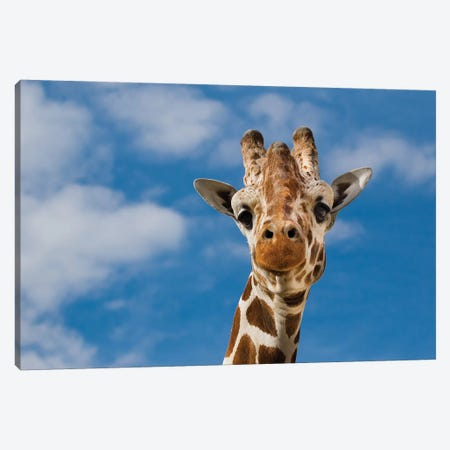 Giraffe Canvas Print #GAN26} by Goran Anastasovski Canvas Print