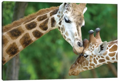 Giraffe In Love Canvas Art Print