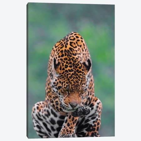 Jaguar III 3-Piece Canvas #GAN50} by Goran Anastasovski Canvas Art Print