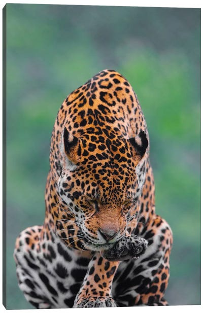 Jaguar III Canvas Art Print