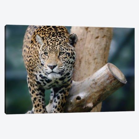 Jaguar XII 3-Piece Canvas #GAN53} by Goran Anastasovski Canvas Print