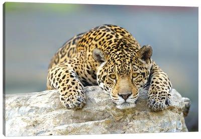 Jaguar XII Canvas Art Print