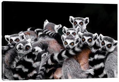 Lemurs Canvas Art Print