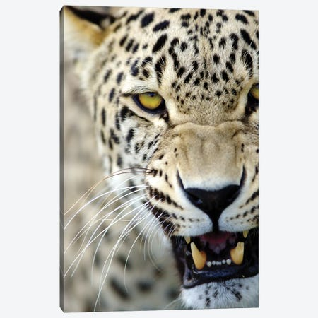 Leopard XV Canvas Print #GAN60} by Goran Anastasovski Canvas Wall Art