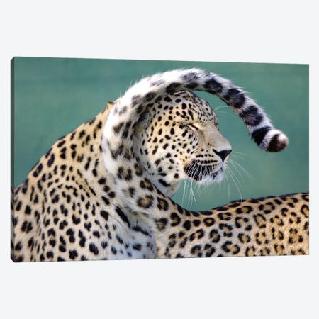 Leopards Canvas Print #GAN61} by Goran Anastasovski Canvas Artwork