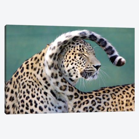 Leopards Canvas Print #GAN61} by Goran Anastasovski Canvas Artwork