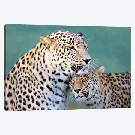 Leopards Love Canvas Print #GAN62} by Goran Anastasovski Canvas Art
