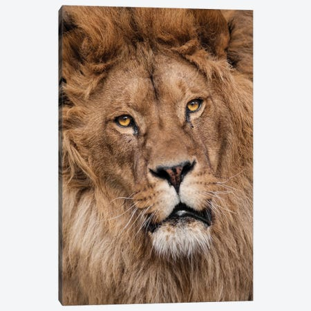 Lion II Canvas Print #GAN64} by Goran Anastasovski Art Print