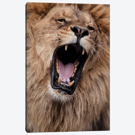 Lion III Canvas Print #GAN65} by Goran Anastasovski Canvas Art Print