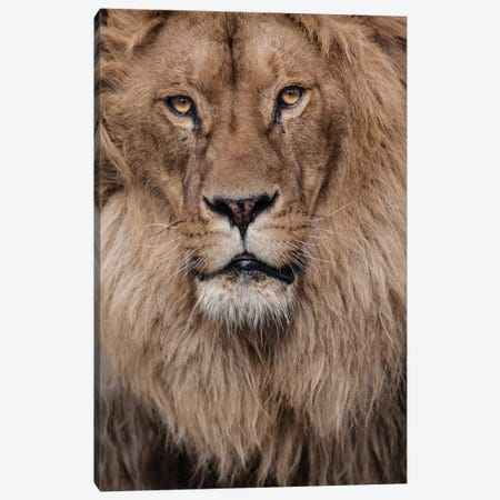 Lion V Canvas Print #GAN68} by Goran Anastasovski Canvas Wall Art