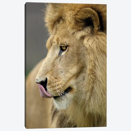 Lion XI Canvas Print #GAN69} by Goran Anastasovski Canvas Art