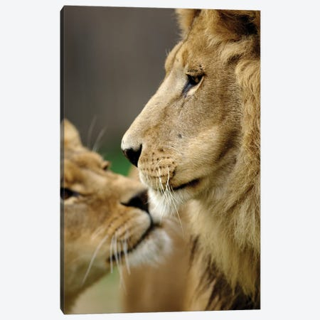 Lions In Love Canvas Print #GAN70} by Goran Anastasovski Canvas Print
