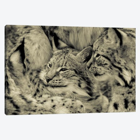 Lynx 3-Piece Canvas #GAN72} by Goran Anastasovski Art Print