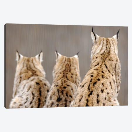 Lynx Back Canvas Print #GAN73} by Goran Anastasovski Art Print