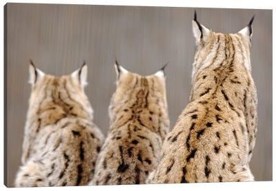 Lynx Back Canvas Art Print