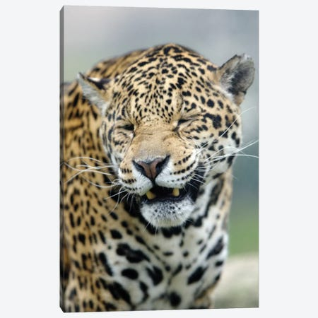 Smiling Jaguar 3-Piece Canvas #GAN82} by Goran Anastasovski Canvas Art