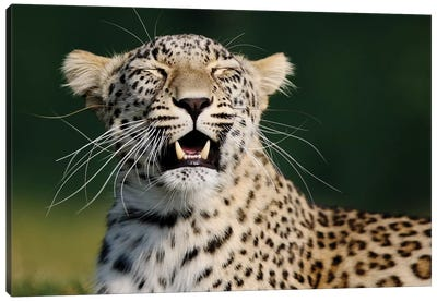 Smiling Leopard Canvas Art Print