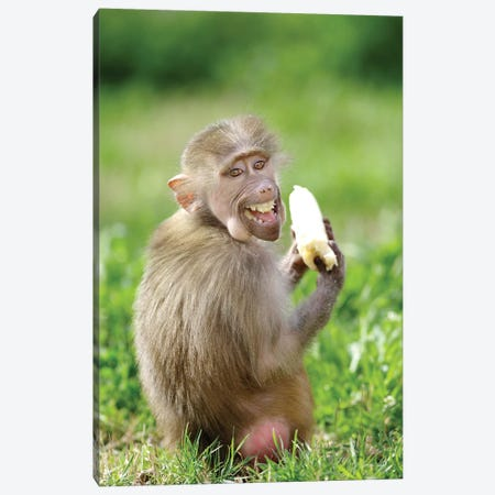 Smiling Monkey Canvas Print #GAN84} by Goran Anastasovski Canvas Print