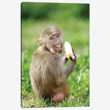 Smiling Monkey Canvas Print #GAN84} by Goran Anastasovski Canvas Print