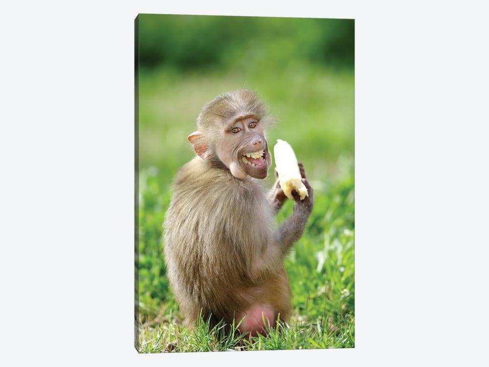 Smiling Monkey by Goran Anastasovski 1-piece Canvas Art