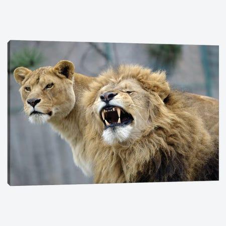 Beauty Lions Canvas Print #GAN8} by Goran Anastasovski Art Print