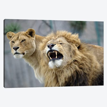 Beauty Lions Canvas Print #GAN8} by Goran Anastasovski Art Print