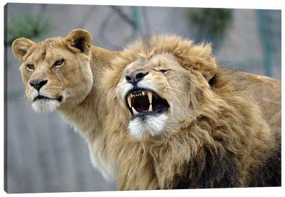 Beauty Lions Canvas Art Print