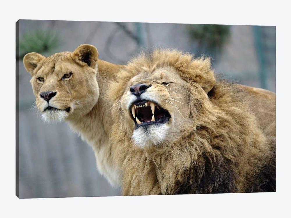 Beauty Lions by Goran Anastasovski 1-piece Canvas Art