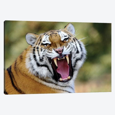 Tiger Roar Canvas Print #GAN94} by Goran Anastasovski Canvas Artwork