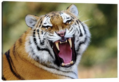 Tiger Roar Canvas Art Print