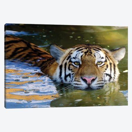 Tiger VI Canvas Print #GAN95} by Goran Anastasovski Canvas Art