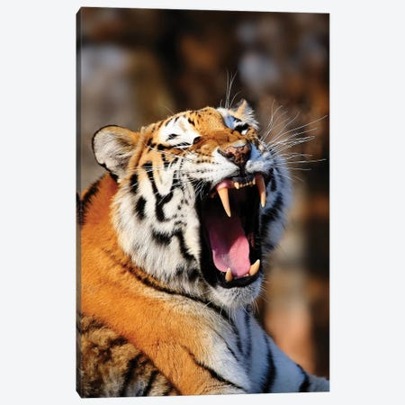 Tiger XII 3-Piece Canvas #GAN97} by Goran Anastasovski Canvas Art