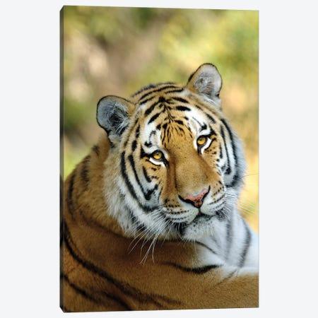 Tiger XII Canvas Print #GAN98} by Goran Anastasovski Canvas Art Print