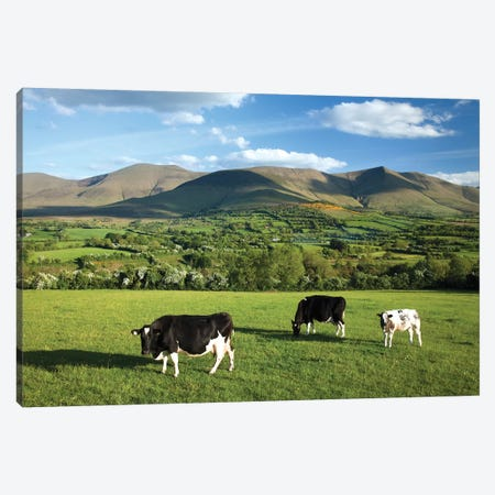 Cows Grazing In The Glen Of Aherlow, Galtee Mountains, County Tipperary, Ireland Canvas Print #GAR105} by Gareth McCormack Canvas Art Print