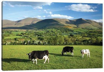 Cows Grazing In The Glen Of Aherlow, Galtee Mountains, County Tipperary, Ireland Canvas Art Print