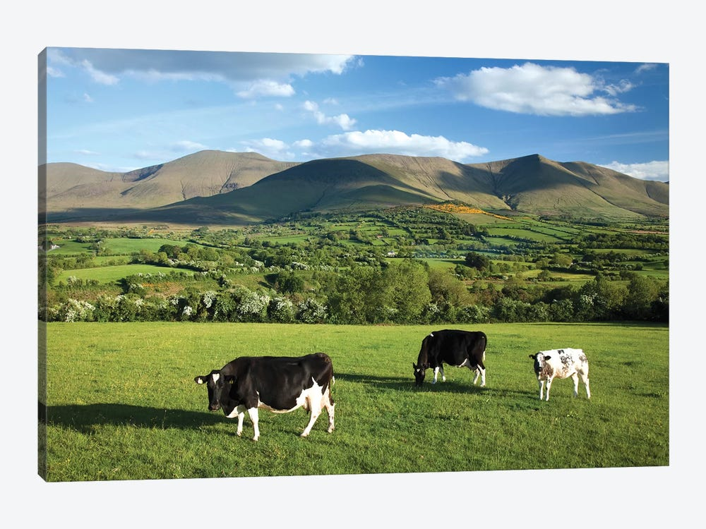 Cows Grazing In The Glen Of Aherlow, Galtee Mountains, County Tipperary, Ireland by Gareth McCormack 1-piece Canvas Wall Art