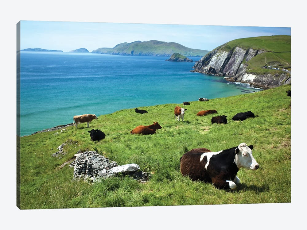 Cows Resting Above Coumeenoole Bay, Dingle Peninsula, County Kerry, Ireland by Gareth McCormack 1-piece Art Print