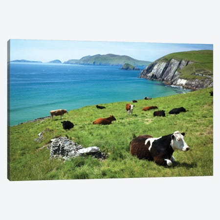 Cows Resting Above Coumeenoole Bay, Dingle Peninsula, County Kerry, Ireland Canvas Print #GAR106} by Gareth McCormack Art Print