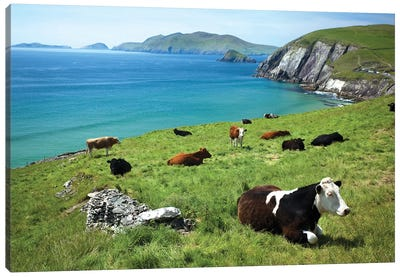 Cows Resting Above Coumeenoole Bay, Dingle Peninsula, County Kerry, Ireland Canvas Art Print
