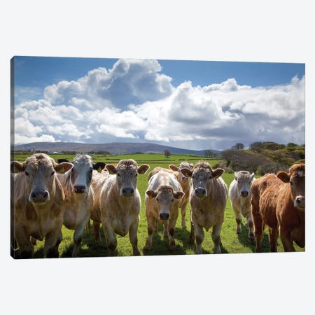 Curious Cattle, County Sligo, Ireland Canvas Print #GAR107} by Gareth McCormack Canvas Art Print