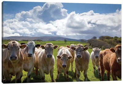 Curious Cattle, County Sligo, Ireland Canvas Art Print