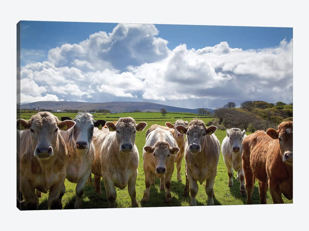 Curious Cattle, County Sligo, Ireland 1-piece Canvas Art