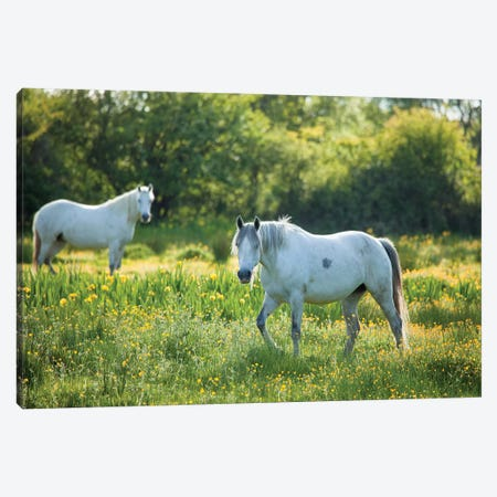 Connemara Ponies, County Mayo, Ireland Canvas Print #GAR111} by Gareth McCormack Canvas Art Print