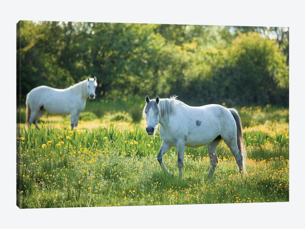 Connemara Ponies, County Mayo, Ireland by Gareth McCormack 1-piece Canvas Art Print