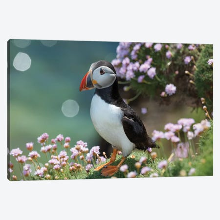 Puffin II, Great Saltee Island, County Wexford, Ireland  Canvas Print #GAR115} by Gareth McCormack Canvas Wall Art