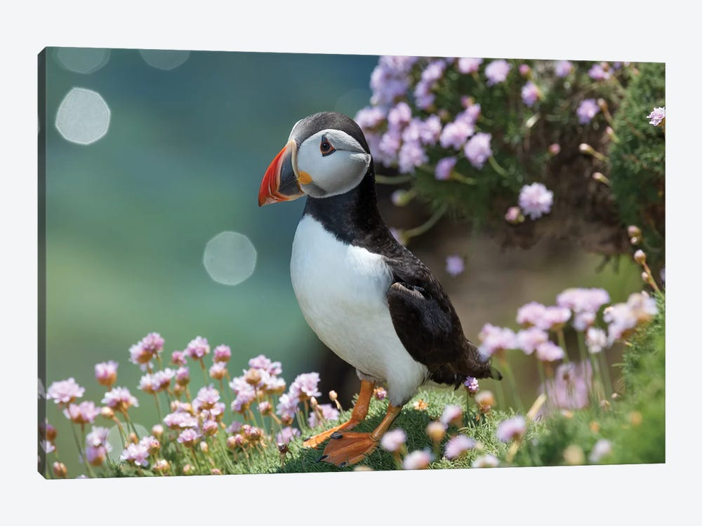Puffin II, Great Saltee Island, County Wexford, Ireland  by Gareth McCormack 1-piece Canvas Art Print