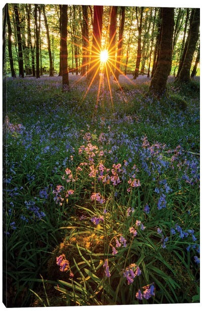 Setting Sun In Bluebell Woodland II Canvas Art Print