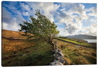Wind-Bent Hawthorn On A Hillside Above Killary Harbour I, Connemara , County Galway, Ireland Canvas Art Print