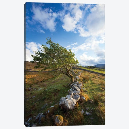 Wind-Bent Hawthorn On A Hillside Above Killary Harbour II, Connemara , County Galway, Ireland Canvas Print #GAR199} by Gareth McCormack Canvas Print